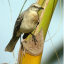 Tropical Mocking Bird